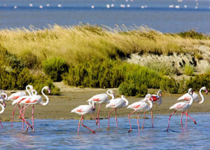 The Flamingos of Camargue